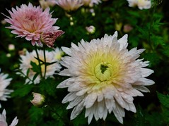 Fall mums from October (lovesdahlias 1) Tags: chrysanthemums perennials flowers blossoms raindrops nature gardens fall newengland