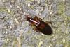 Ground Beetle - Dromius angustus (Prank F) Tags: rspb thelodge sandy bedfordshireuk wildlife nature insect macro closeup beetle ground dromiusangustus