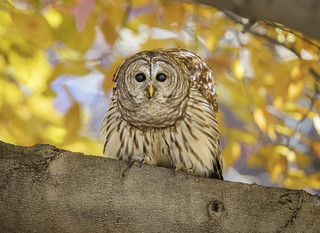 Barred Owl On Watch...