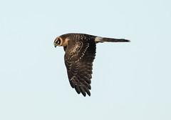 Circus macrourus, Pallid Harrier, Steppekiekendief (meijsvo) Tags: explore circus macrourus pallid harrier steppenkiekendief roofvogel wild