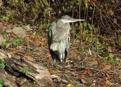 IMG_1036b (Naturecamhd) Tags: canonpowershotsx700hs sx700hs newyorkbotanicalgarden nybg nature eco botanicalgarden leaves bronx thebronx greatblueheron bird birding twinlakes
