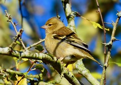 Female Chaffinch - Taken at Titchmarsh Nature Reserve, Aldwincle, Northants. UK (Ian J Hicks) Tags: