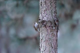 a Treecreeper on a trunk (2/2) / un grimpereau sur un tronc