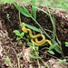 Yellow viper