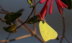 Cloudless Sulphur (Gail Casteel) Tags: nwr outdoors nature lepidoptera butterflies red flowers yellow cloudless sulphur stmarks florida