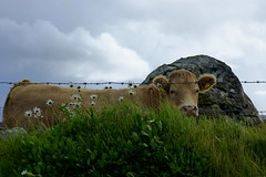 The Observer (ivlys) Tags: irland ireland éire countysligo carrowmore kuh cow tier animal fels rock gras grass blume flower margerite marguerite landschaft landscape natur nature ivlys