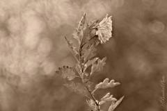 HB174680_1600_t3.1_mc2-1-3 (Horst Beutler) Tags: chrysanthemum aster flower winteraster winter bokeh pentax k5iis carlzeissjenaddrbiometar120mmf28mcblack smcpentaxfafadapter17x pentaconsixp6mount manuallens vintagelens copyrighthorstbeutlerphotography