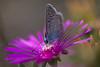3L4A5099.jpg (Francois Berne) Tags: argusbleu papillonordrelépidoptère macro argus faune insecte
