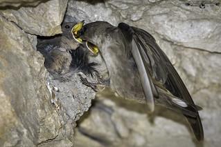 Avión roquero - Ptyonoprogne rupestris - Eurasian crag martin.