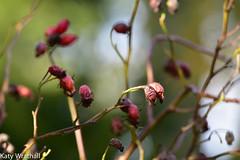 Rosehip shrivelled (Katy Wrathall) Tags: 2017 autumn eastriding eastyokrshire england november colourless foliage garden light rosehip