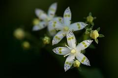 アケボノソウ Double-Spotted Swertia (takapata) Tags: sony sel90m28g ilce7m2 macro flower nature