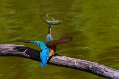 kingfisher (nbs.fotografie) Tags: nikon kingfisher lasauge wildlife nature bird vogel eisvogel