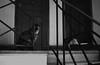 Sú y Elora (EileenZitaClara) Tags: xp2 ilford colorfilm filmcolor ilfordfilm 35mm pentaxmesuper pentax 50mm blancoynegro blanconegro blackwhite blackandwhitephotography blackandwhite cat cats kittens departamento apartment apt tabaco tobacco smoke smoking cigarrette cigarrillo building buildings bellasartes hogar home filmcolordevelopedasblackandwhite gatitos gatas prrr gatacarey careycat
