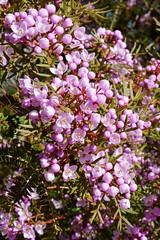 Boronia (andyscho2004) Tags: boronia barrengrounds kiama nsw newsouthwales australia au flora floral flower pink spring bloom nikon d7100 illawarra kangarooridgetrail
