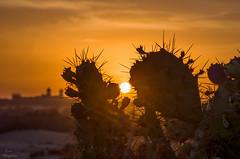 I 💗 Canary Islands... (Leo ☮) Tags: cactus chumbera higoschumbos sol sun ocaso puestadesol atardecer sunset espina dunas cielo sky hot calor color luz light orange 💗 maspalomas playadelinglés islascanarias