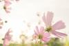 秋桜 / cosmos (March Hare1145) Tags: 花 flower 植物 plant 日本 japan コスモス 秋桜 cosmos