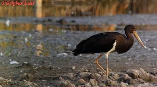 Schwarzstorch/Black Stork (Ciconia Nigra)