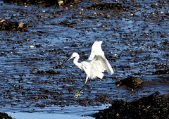 Little Egret. (jimbrownrosyth) Tags: