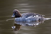 Goldeneye (Simon Stobart) Tags: goldeneye female bucephala clangula pond swimming water ngc npc