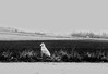23627160_1545937658852617_901000173_o (ihsantarikcelik) Tags: watchman white dog contrast laid fallow eskişehir blackandwhite digitalphotography digitalart