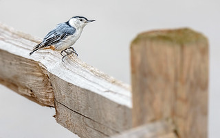 Bird On A Fence Rail