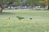 birds in the park (Martin Michajtyszyn) Tags: parrot birds park cotorra pajaros parque