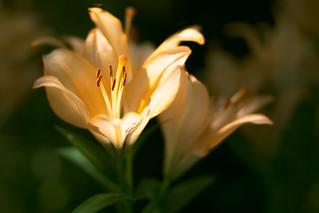 Orange lily in the garden