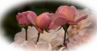 Buds of Pink
