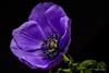 Purple flower (Magda Banach) Tags: canon colors flora flower nature plants macro plant purple anemone 80d