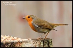 Robin  2 (Diddley Bo) Tags: