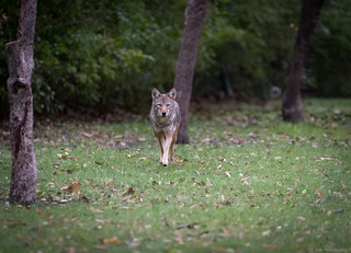 Coyote Approach - 3