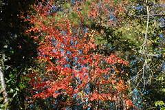 Leaves And Trees. (dccradio) Tags: lumberton nc northcarolina robesoncounty outdoors outside morning goodmorning fall autumn harvest nikon d40 dslr sky bluesky nature natural tree trees foliage autumnfoliage fallfoliage