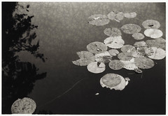 Water lilies (Lith print) (K.Pihl) Tags: sigmacompacthyperzoom28200mmf3556 autumn åkander ilfordfp4125 lithprint rodinal1100 waterlily canoneos500nneweoskisseosrebelg water standdevelopment langeland nymphaeaceae bw film analog waterlilies