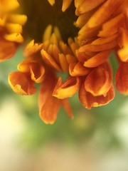 (meeeeeeeeeel) Tags: iphoneography depthoffield dof verde laranja green orange macro detalhe details flor flower petals petalas crisântemo chrysanthemum
