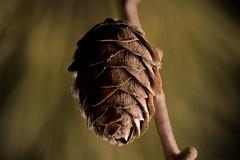 larchCone (tobias-eger) Tags: macromondays stonerhymingzone macro larch cone larchcone nature detail makro lärche lärchenzapfen natur