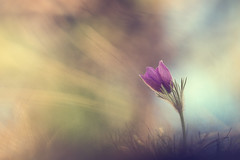 # vers un monde meilleur # (Thomas Vanderheyden) Tags: anemone anemonepulsatillal bokeh colors couleur fleur fleursauvage flora flore flower france fujifilm macro nature picardie proxi samyang135mm thomasvanderheyden vegetal xt1