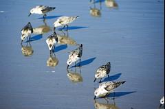 Sandpipers (radiorocky) Tags: sandpipers seabirds ocean sea seacoast northernnewengland maine newhampshire hampton york birds fauna beach sand waves wading longsandsbeach