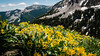 Already Thinking of Summer (HikerDude24) Tags: wildflowers grandtetons grandteton nationalpark grandtetonnationalpark hiking backpacking mountains nature travel flowers rockymountains nikon d5100 tetoncrest wyoming