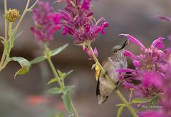 Looking for Nectar (Rick Derevan) Tags: bird hummingbird newmexico randalldavey santafe broadtailedhummingbird selasphorusplatycercus flower