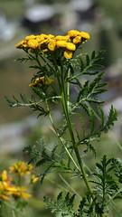 Tanacetum vulgare (Tansy) (Hugh Knott) Tags: tanacetumvulgare tansy flora zermatt valais helvetica suisse switzerland schweiz