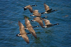 Flocking Together (swong95765) Tags: geese birds fly flying flock water river group