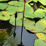 autumn lily thumbnail