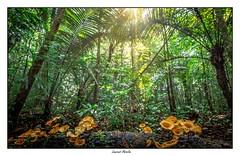 Des champignons dans la forêt (Laurent Asselin) Tags: champignons mushrooms forêt arbres vert lumière rayons guyane