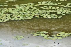 Monet adoraria # 51 / Monet would love # 51 (Márcia Valle) Tags: lagoa pond nymphaeas chuva rain rainyday diachuvoso water água ninfeias márciavalle nature natureza nikon d5100 minasgerais juizdefora brasil brazil brazilianfauna brazilianflora floraandfauna