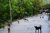 ,, The Zoomer, Little Stubby, Primates ,, (Jon in Thailand) Tags: blue red yellow green teal jungle deepjungle themonkeytemple primates monkeys dog dogs k9 k9s aggressiveprimates troupeofmonkeys legsthezoomer thezoomer legs littlestubby concretejungleroad nikon nikkor d300 175528 dogtail dogears monkeytail jumpingmonkey lotsofmonkeys trees wetroad littledoglaughedstories