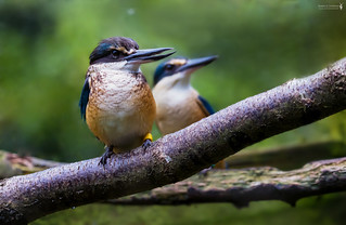 Götzenliest - kōtare - sacred kingfisher (Todiramphus sanctus)