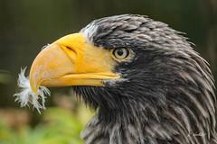 Stellers Sea Eagle (K.Verhulst) Tags: stellersseaeagle stellerszeearend seaeagle eagle zeearend arend birds vogels blijdorp diergaardeblijdorp rotterdam bird