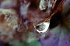 glimmer of light (nelesch14) Tags: macro drop flower hydrangea hortensia fall autumn rain raindrop light bright