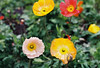 Poppies (Katie Tarpey) Tags: poppies flowers yellow film agfavistaplus400 agfa nikonfm10 nikkor50mm14 nature