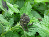 Safety in numbers (Lexie's Mum) Tags: continuing30dayswild walking walks walkingthedog nature wildlife scenery floraandfauna caterpillars nettles